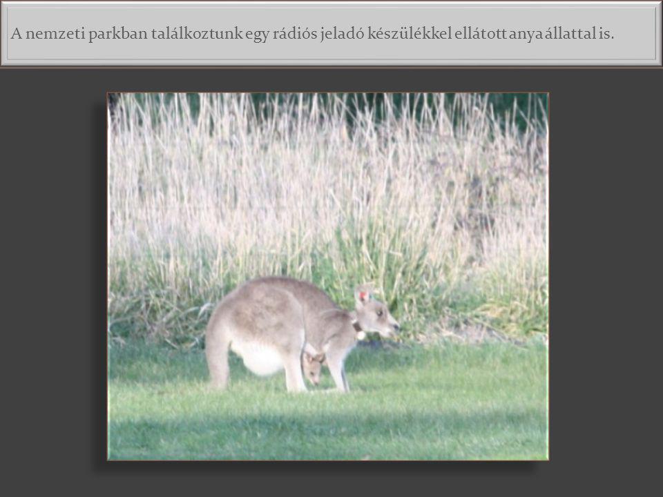 Eléggé nagy, amikor még mindig befurakszik az erszénybe. Fejjel előre bújik és a kenguru mama telejesen meggörnyed, míg ő kényelmesen elhelyezkedik. D