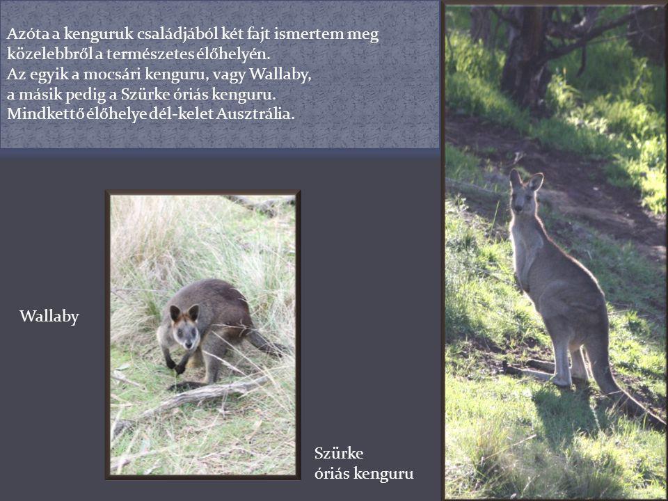 A legelső személyes találkozásunk a Melbourne Zoo-ban volt. Ekkor még a telefonommal készített képekkel kellett beérnem. Szürke óriás kenguruVörös óri