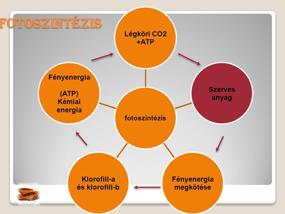 Fotoszintézis fotoszintézis Légköri CO2 +ATP Szerves anyag Fényenergia megkötése Klorofill-a és klorofill-b Fényenergia (ATP) Kémiai energia