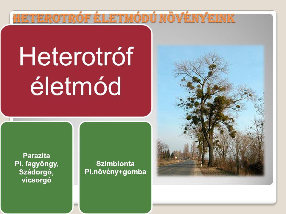 Heterotróf életmódú növényeink Heterotróf életmód Parazita Pl. fagyöngy, Szádorgó, vicsorgó Szimbionta Pl.növény+gomba