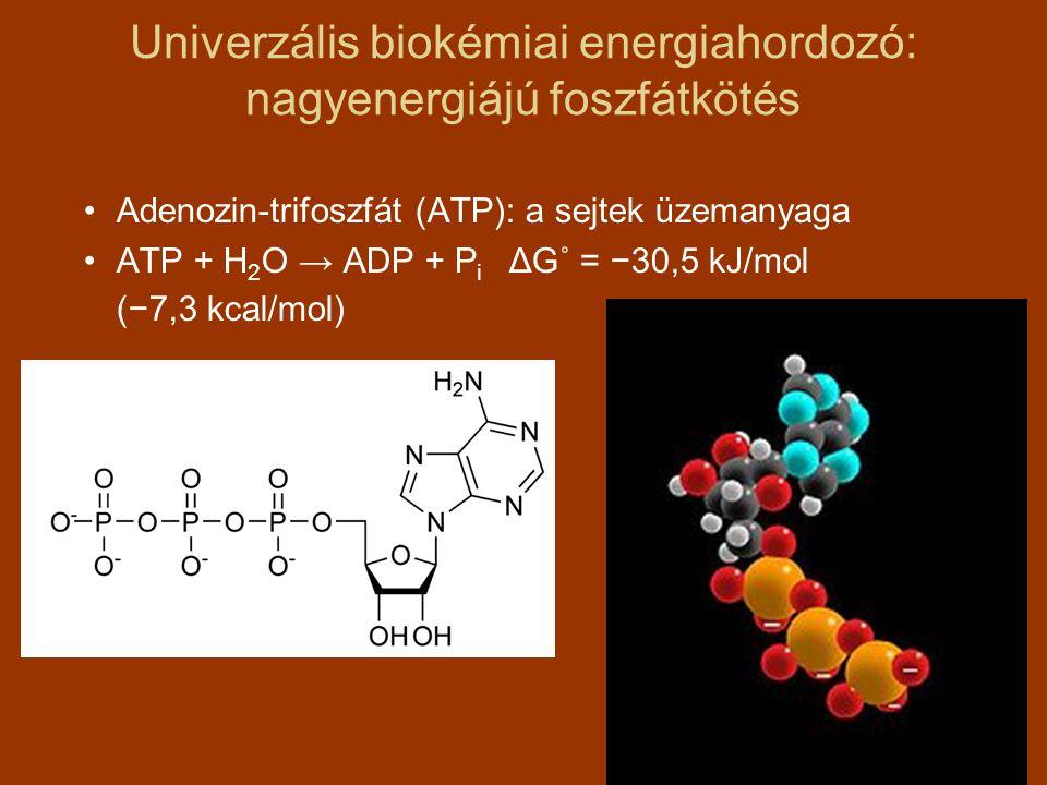 Univerzális biokémiai energiahordozó: nagyenergiájú foszfátkötés Adenozin-trifoszfát (ATP): a sejtek üzemanyaga ATP + H 2 O → ADP + P i ΔG˚ = −30,5 kJ