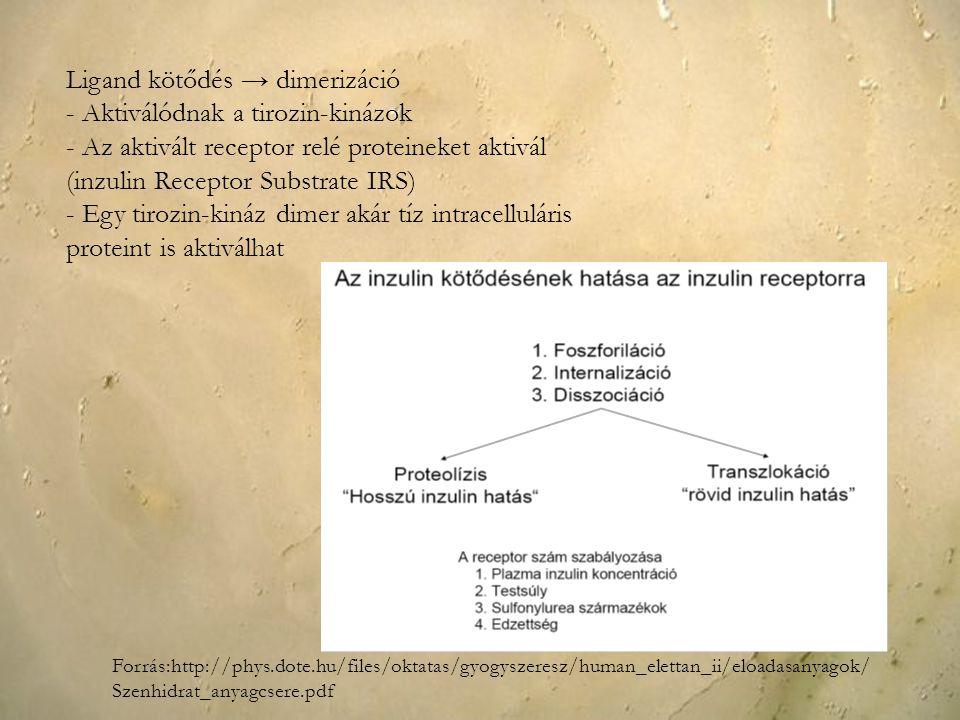 Ligand kötődés → dimerizáció - Aktiválódnak a tirozin-kinázok - Az aktivált receptor relé proteineket aktivál (inzulin Receptor Substrate IRS) - Egy t