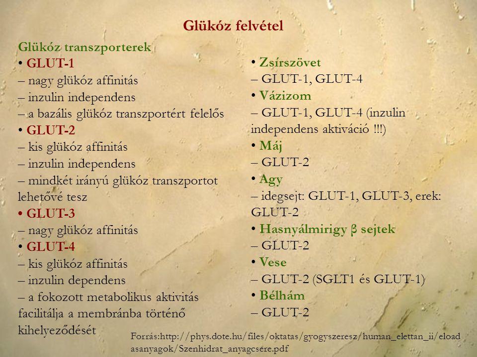 Glükóz transzporterek GLUT-1 – nagy glükóz affinitás – inzulin independens – a bazális glükóz transzportért felelős GLUT-2 – kis glükóz affinitás – in