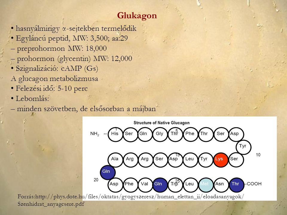 hasnyálmirigy α-sejtekben termelődik Egyláncú peptid, MW: 3,500; aa:29 – preprohormon MW: 18,000 – prohormon (glycentin) MW: 12,000 Szignalizáció: cAM