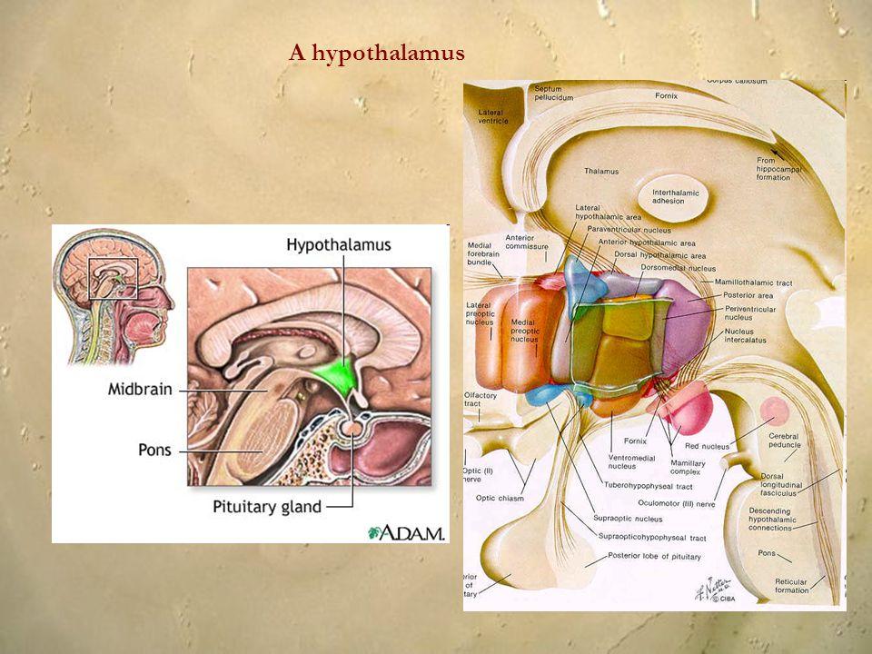 A hypothalamus