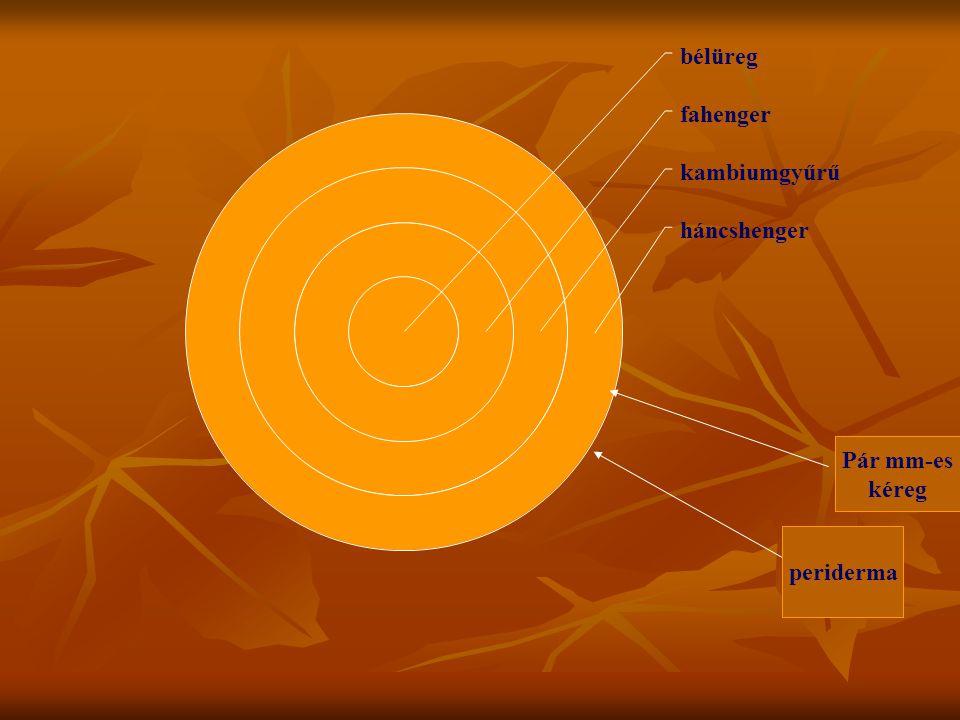 bélüreg fahenger kambiumgyűrű háncshenger periderma Pár mm-es kéreg