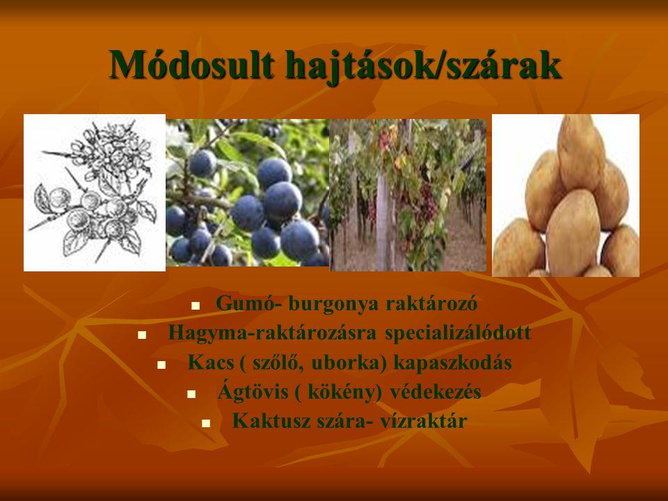Módosult hajtások/szárak Gumó- burgonya raktározó Hagyma-raktározásra specializálódott Kacs ( szőlő, uborka) kapaszkodás Ágtövis ( kökény) védekezés Kaktusz szára- vízraktár