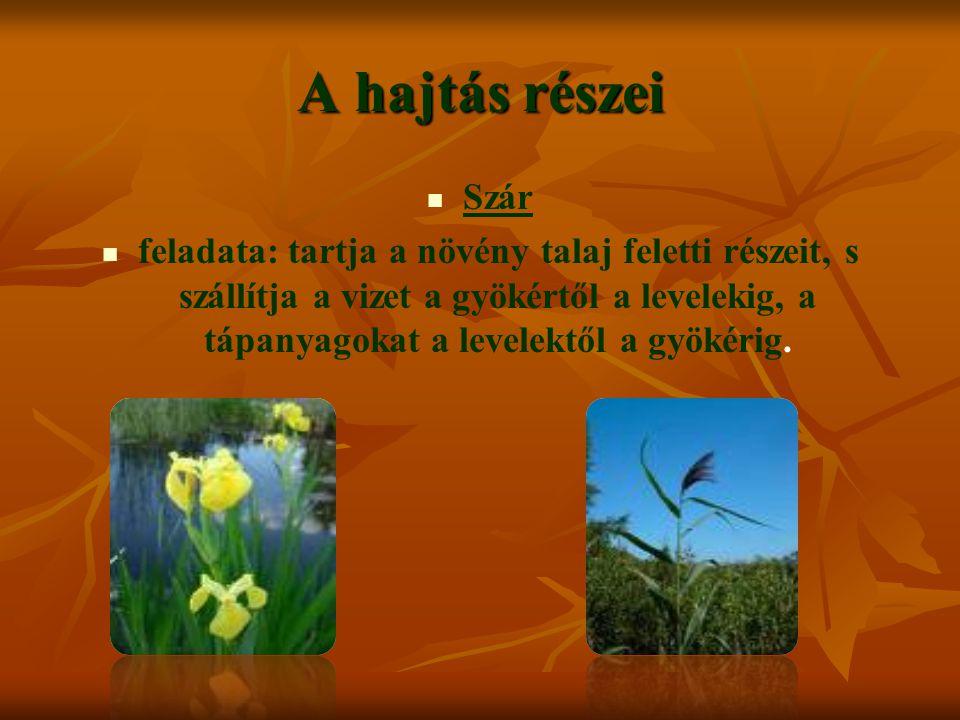 A hajtás részei Szár feladata: tartja a növény talaj feletti részeit, s szállítja a vizet a gyökértől a levelekig, a tápanyagokat a levelektől a gyökérig.