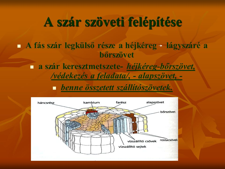 A szár szöveti felépítése A fás szár legkülső része a héjkéreg lágyszáré a bőrszövet a szár keresztmetszete- héjkéreg-bőrszövet, /védekezés a feladata