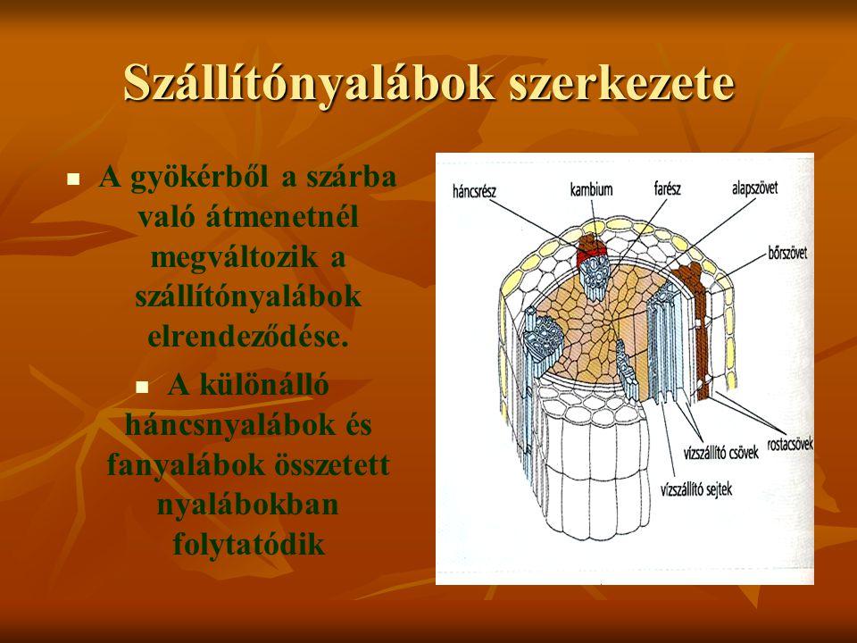 Szállítónyalábok szerkezete A gyökérből a szárba való átmenetnél megváltozik a szállítónyalábok elrendeződése. A különálló háncsnyalábok és fanyalábok