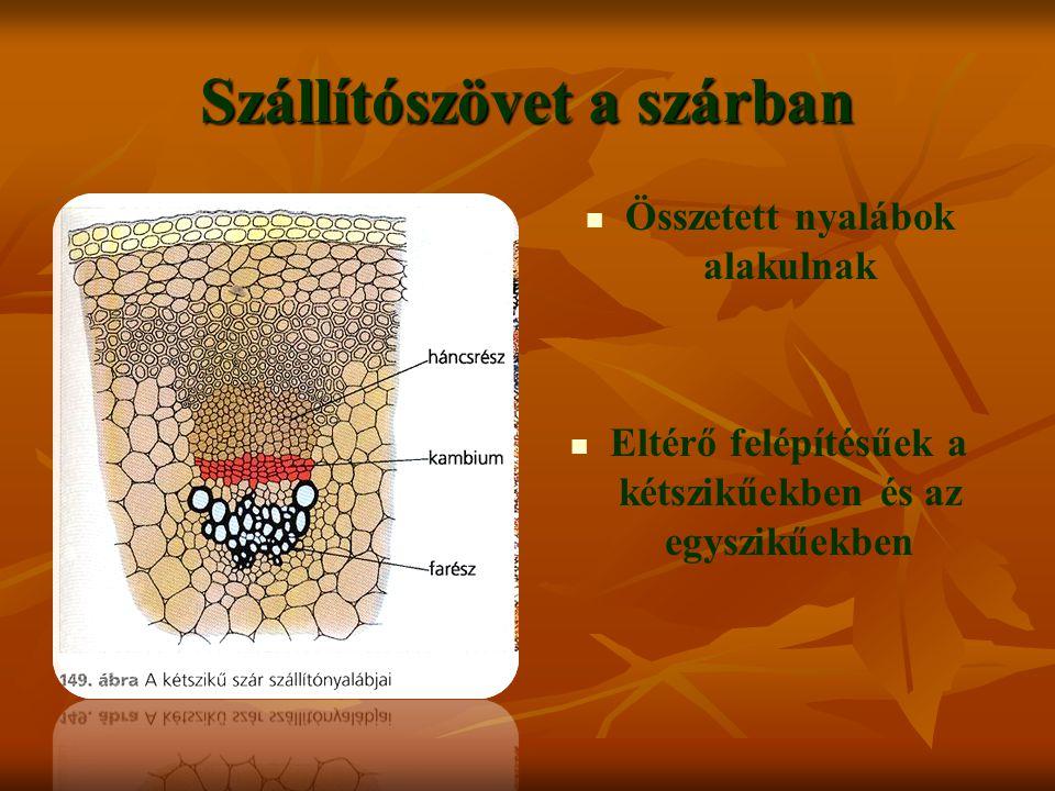 Szállítószövet a szárban Összetett nyalábok alakulnak Eltérő felépítésűek a kétszikűekben és az egyszikűekben