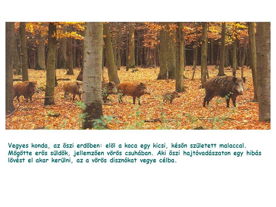Vegyes konda, az őszi erdőben: elöl a koca egy kicsi, későn született malaccal. Mögötte erős süldők, jellemzően vörös csuhában. Aki őszi hajtóvadászat