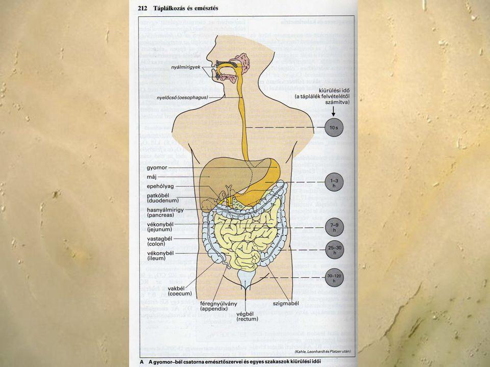 A vastag- és végbél működése Evést követőn a vastagbéltartalom disztális irányba elmozdul – régebben ezt gastrocolicus reflex-nek nevezték; a válasz nagy mértékben függ a felvett táplálék energiatartalmától a rectum működése -A végbélnyílásnál a rectum kettős záró izomgyűrűvel rendelkezik.