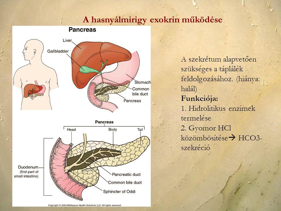 A hasnyálmirigy exokrin működése A szekrétum alapvetően szükséges a táplálék feldolgozásához. (hiánya: halál) Funkciója: 1. Hidrolitikus enzimek terme