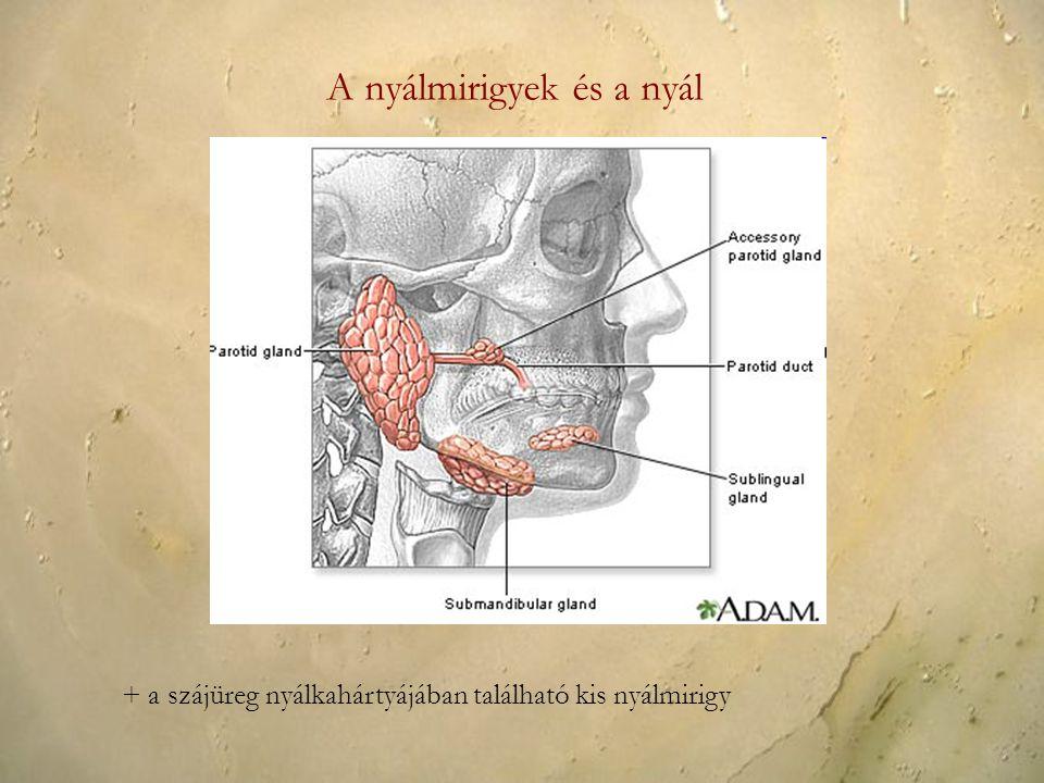 A nyálmirigyek és a nyál + a szájüreg nyálkahártyájában található kis nyálmirigy