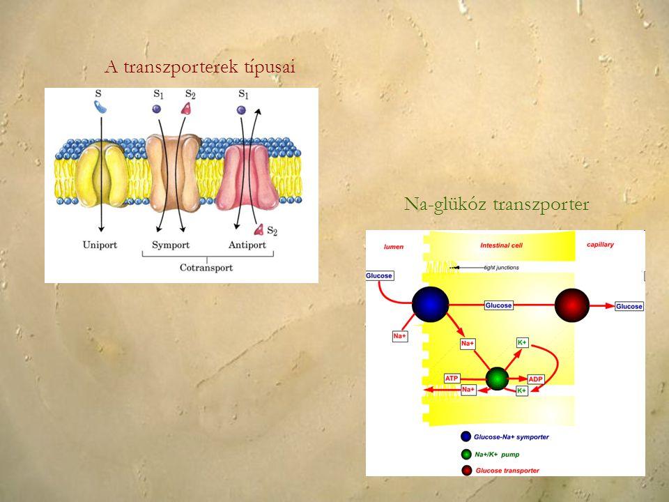 A transzporterek típusai Na-glükóz transzporter