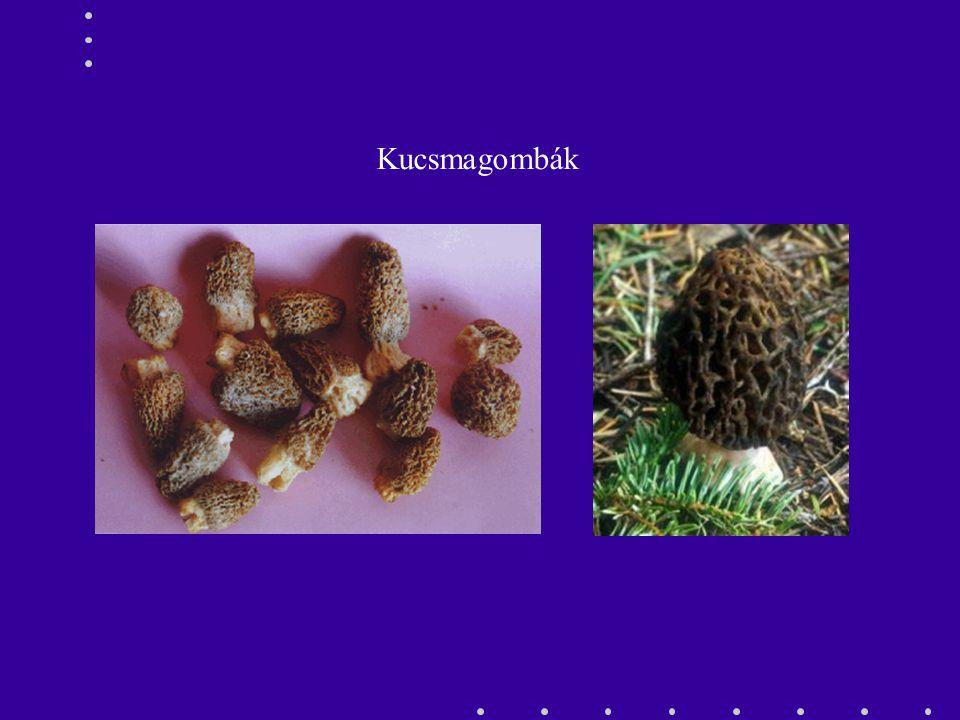 Kucsmagombák