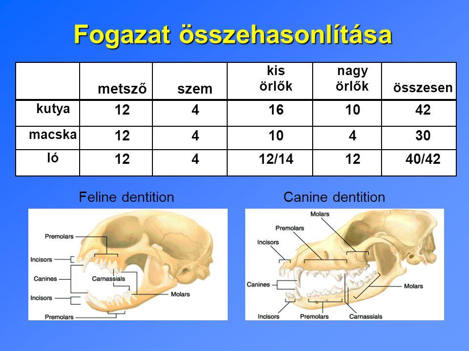 Fogazat összehasonlítása Feline dentitionCanine dentition metszőszem kis örlők nagy örlők összesen kutya 124161042 macska 12410430 ló 12412/141240/42