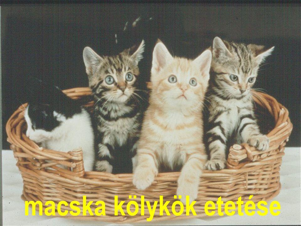 macska kölykök etetése