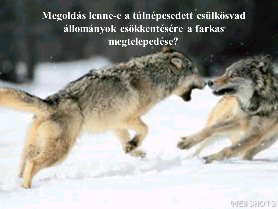 Megoldás lenne-e a túlnépesedett csülkösvad állományok csökkentésére a farkas megtelepedése?