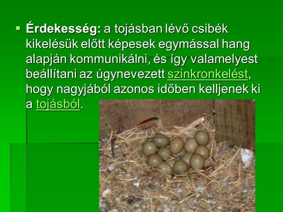  Érdekesség: a tojásban lévő csibék kikelésük előtt képesek egymással hang alapján kommunikálni, és így valamelyest beállítani az úgynevezett szinkro