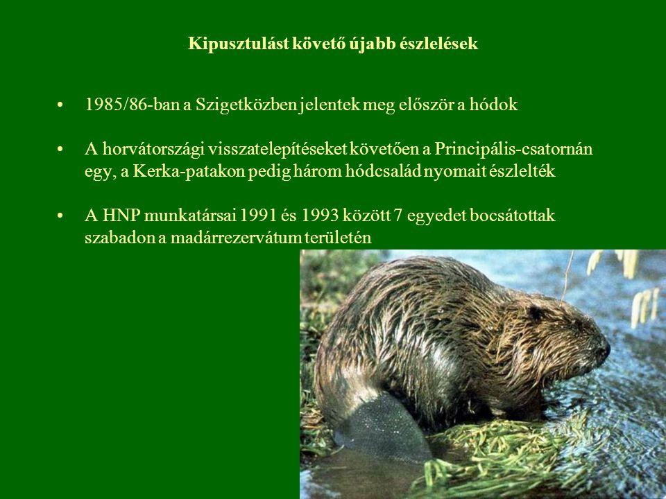 Kipusztulást követő újabb észlelések 1985/86-ban a Szigetközben jelentek meg először a hódok A horvátországi visszatelepítéseket követően a Principális-csatornán egy, a Kerka-patakon pedig három hódcsalád nyomait észlelték A HNP munkatársai 1991 és 1993 között 7 egyedet bocsátottak szabadon a madárrezervátum területén