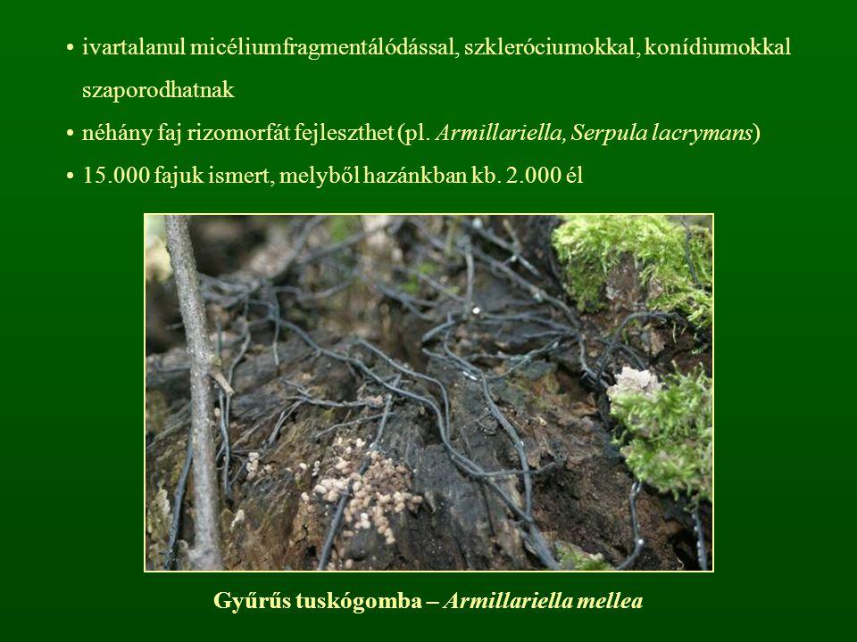ivartalanul micéliumfragmentálódással, szkleróciumokkal, konídiumokkal szaporodhatnak néhány faj rizomorfát fejleszthet (pl. Armillariella, Serpula la