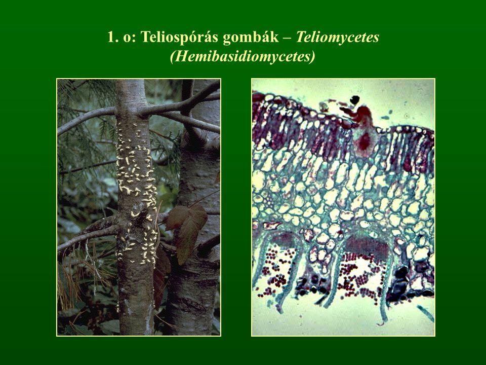 1. o: Teliospórás gombák – Teliomycetes (Hemibasidiomycetes)