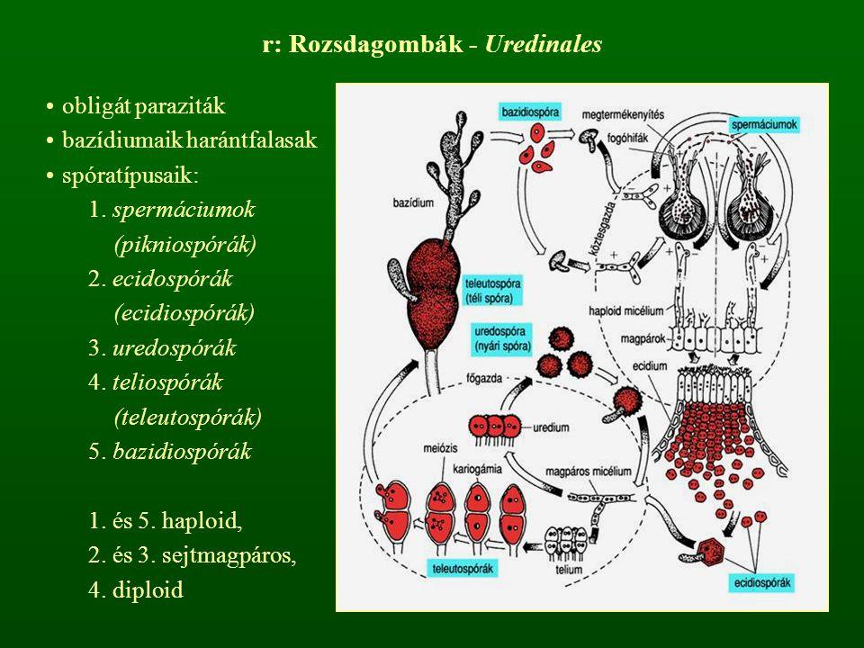 r: Rozsdagombák - Uredinales obligát paraziták bazídiumaik harántfalasak spóratípusaik: 1. spermáciumok (pikniospórák) 2. ecidospórák (ecidiospórák) 3