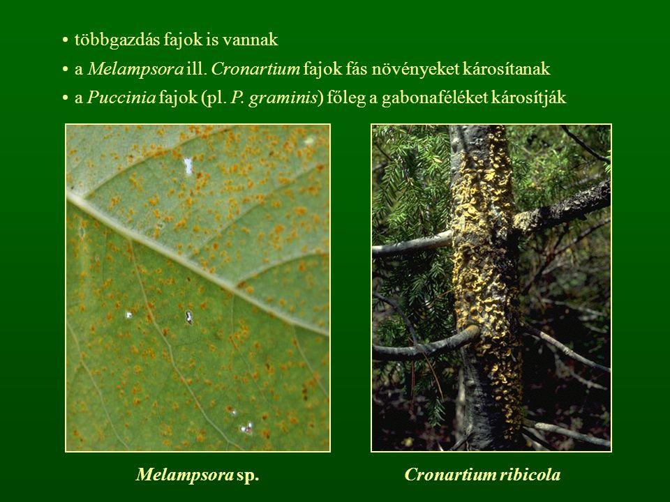többgazdás fajok is vannak a Melampsora ill. Cronartium fajok fás növényeket károsítanak a Puccinia fajok (pl. P. graminis) főleg a gabonaféléket káro