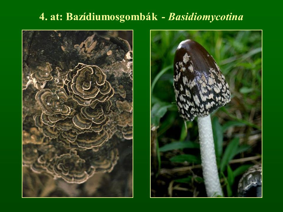 r: Gerebengomba-alkatúak - Hydnales a termőtest szétterülő vagy tönkre és kalapra különülő a himenium tüskeszerű képleteken keletkezik szaprobionta fajok (pl.