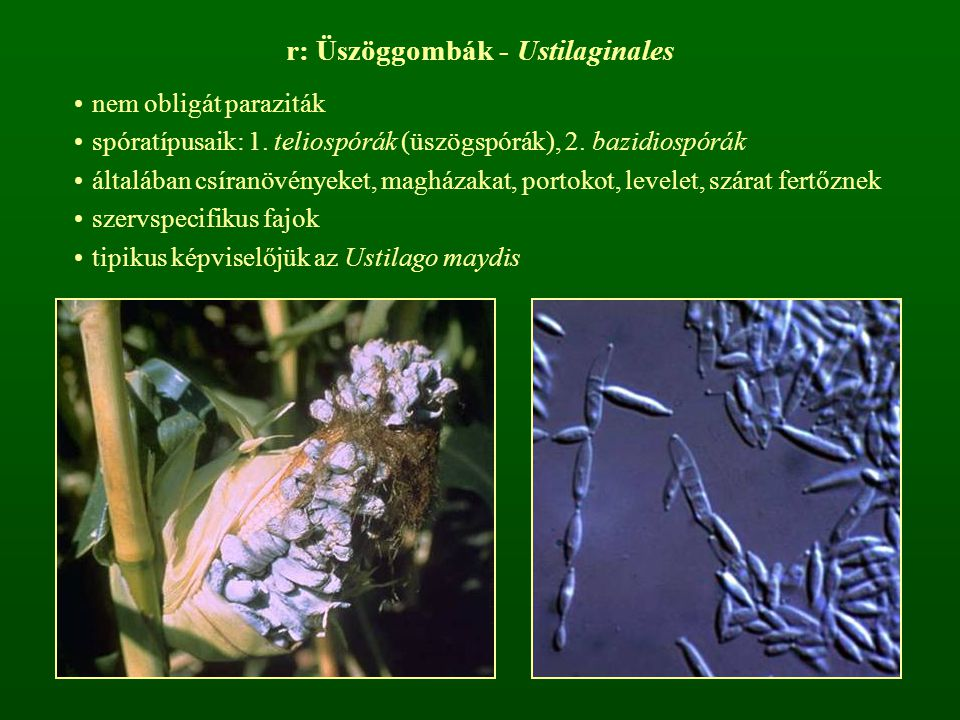r: Üszöggombák - Ustilaginales nem obligát paraziták spóratípusaik: 1. teliospórák (üszögspórák), 2. bazidiospórák általában csíranövényeket, magházak