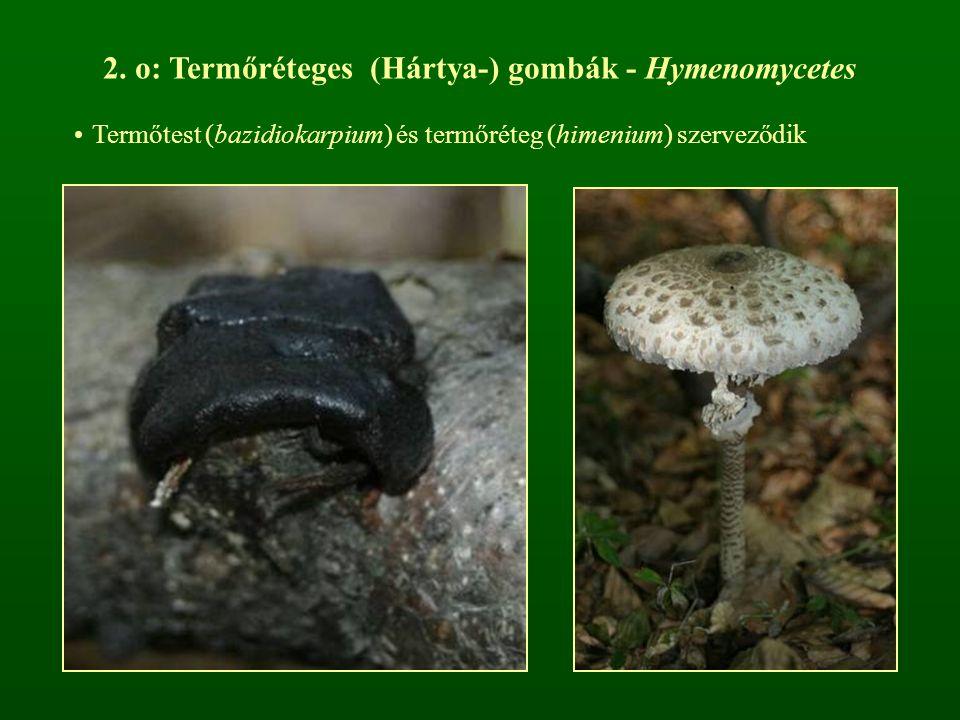 2. o: Termőréteges (Hártya-) gombák - Hymenomycetes Termőtest (bazidiokarpium) és termőréteg (himenium) szerveződik