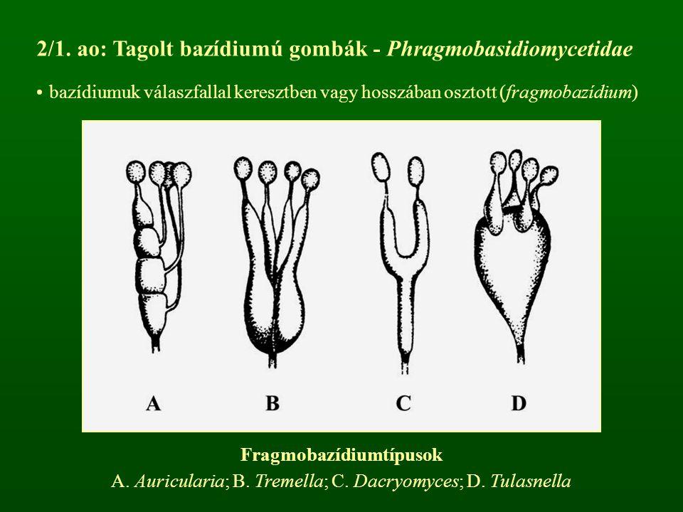 2/1. ao: Tagolt bazídiumú gombák - Phragmobasidiomycetidae bazídiumuk válaszfallal keresztben vagy hosszában osztott (fragmobazídium) Fragmobazídiumtí