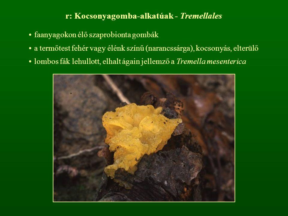 r: Kocsonyagomba-alkatúak - Tremellales faanyagokon élő szaprobionta gombák a termőtest fehér vagy élénk színű (narancssárga), kocsonyás, elterülő lom