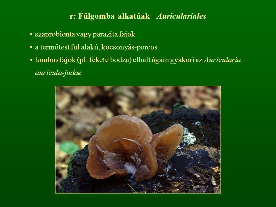 r: Fülgomba-alkatúak - Auriculariales szaprobionta vagy parazita fajok a termőtest fül alakú, kocsonyás-porcos lombos fajok (pl. fekete bodza) elhalt