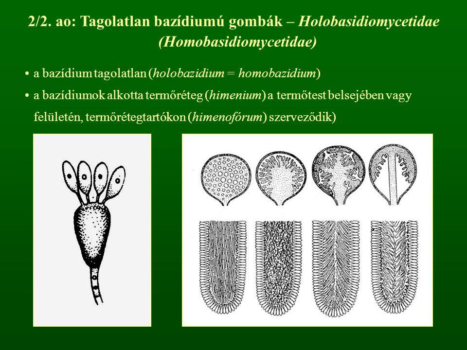 2/2. ao: Tagolatlan bazídiumú gombák – Holobasidiomycetidae (Homobasidiomycetidae) a bazídium tagolatlan (holobazidium = homobazidium) a bazídiumok al