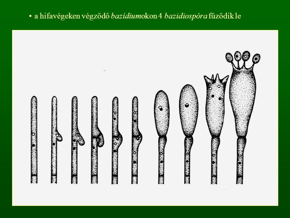 a bazídium harántfalakkal osztott a csúcsi sejtmagpáros sejtből a kariogámia után teliospóra (teleutospóra) képződik  kedvező körülmények között kihajt  meiotikus osztódás  fragmobazídium (4 sejtből áll) pathogén szervezetek, elsősorban obligát paraziták