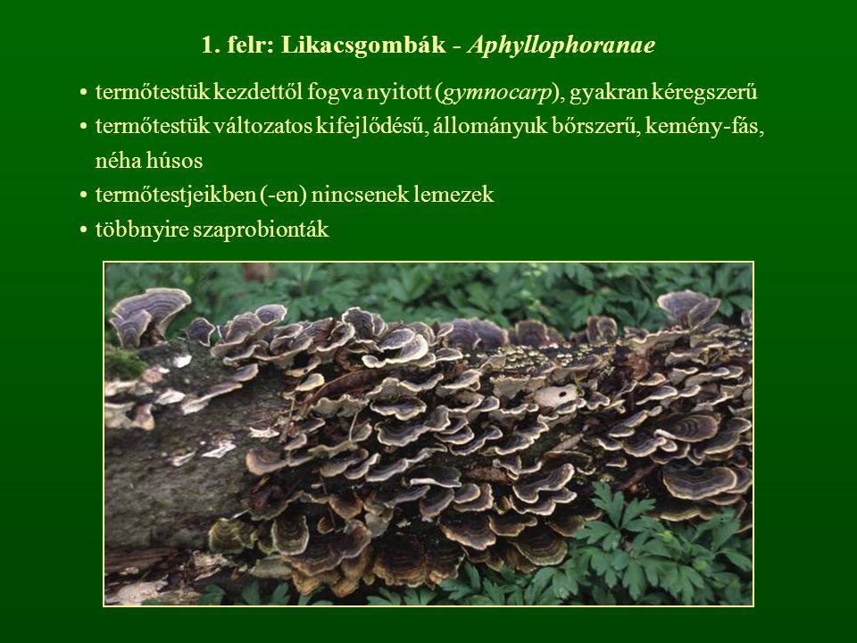 1. felr: Likacsgombák - Aphyllophoranae termőtestük kezdettől fogva nyitott (gymnocarp), gyakran kéregszerű termőtestük változatos kifejlődésű, állomá