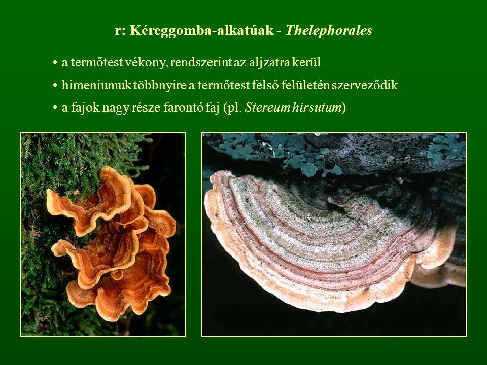 r: Kéreggomba-alkatúak - Thelephorales a termőtest vékony, rendszerint az aljzatra kerül himeniumuk többnyire a termőtest felső felületén szerveződik