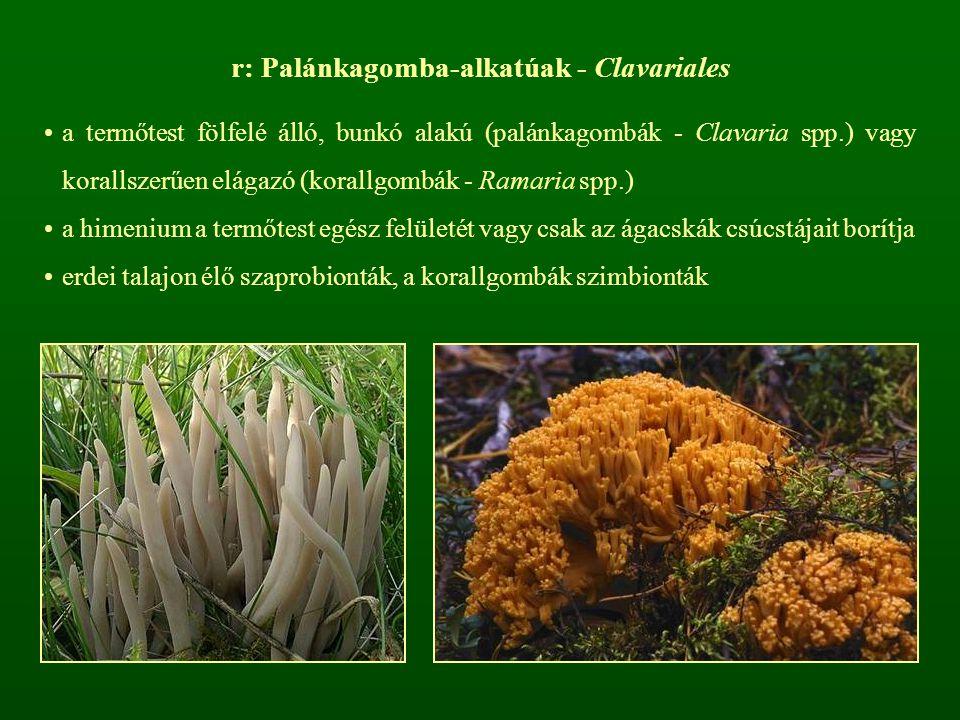 r: Palánkagomba-alkatúak - Clavariales a termőtest fölfelé álló, bunkó alakú (palánkagombák - Clavaria spp.) vagy korallszerűen elágazó (korallgombák