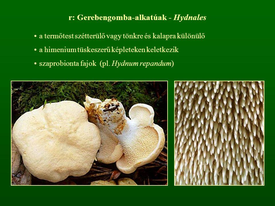 r: Gerebengomba-alkatúak - Hydnales a termőtest szétterülő vagy tönkre és kalapra különülő a himenium tüskeszerű képleteken keletkezik szaprobionta fa