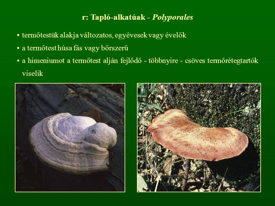 r: Tapló-alkatúak - Polyporales termőtestük alakja változatos, egyévesek vagy évelők a termőtest húsa fás vagy bőrszerű a himeniumot a termőtest alján