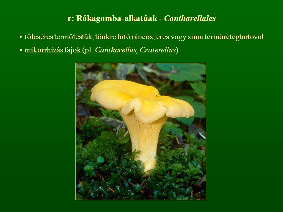 r: Rókagomba-alkatúak - Cantharellales tölcséres termőtestük, tönkre futó ráncos, eres vagy sima termőrétegtartóval mikorrhizás fajok (pl. Cantharellu