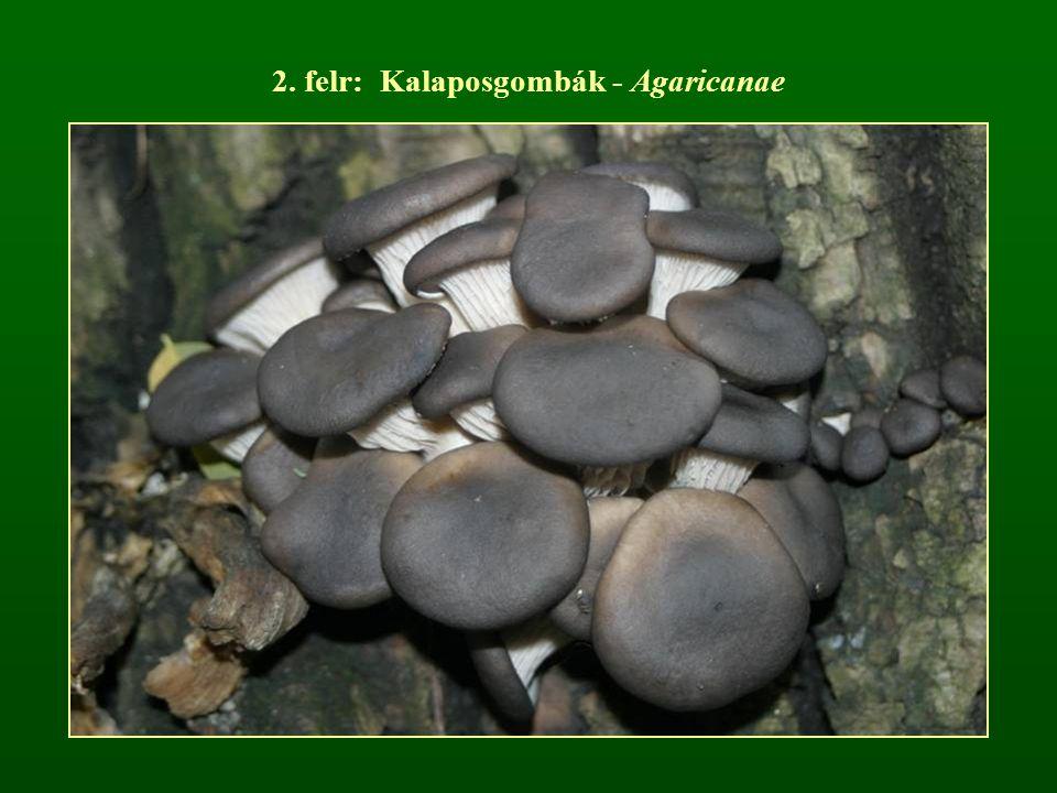 2. felr: Kalaposgombák - Agaricanae