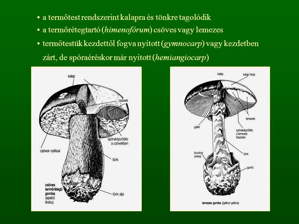 a termőtest rendszerint kalapra és tönkre tagolódik a termőrétegtartó (himenofórum) csöves vagy lemezes termőtestük kezdettől fogva nyitott (gymnocarp