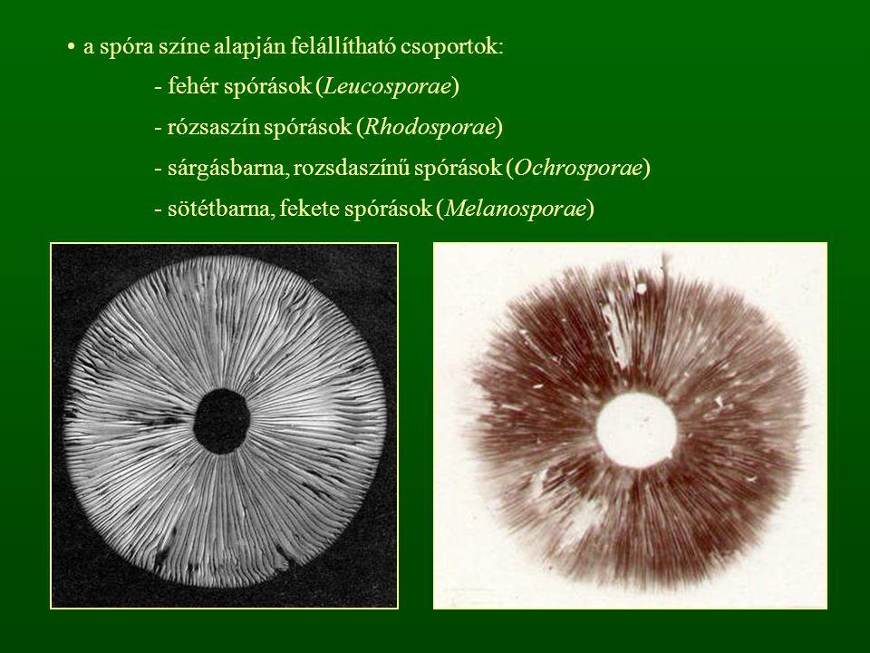 a spóra színe alapján felállítható csoportok: - fehér spórások (Leucosporae) - rózsaszín spórások (Rhodosporae) - sárgásbarna, rozsdaszínű spórások (O