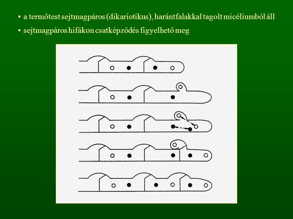 bazídiumuk nem tagolt termőtestük zárt (angicarp), a bazidiospórák szétesésük után szabadulnak ki a termőtest fejlődhet a talajban (hipogei) vagy a talajon (epigei) a bazidiokarpium külső burokból (peridium) és húsos rétegből (gleba) áll angiocarp termőtest
