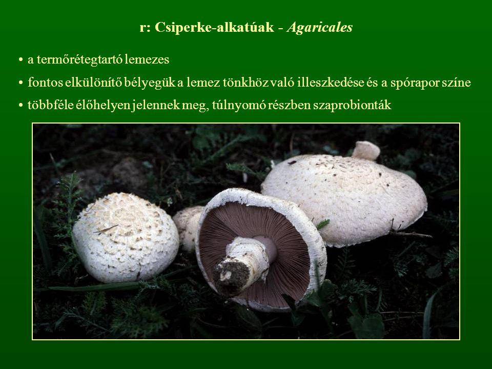 r: Csiperke-alkatúak - Agaricales a termőrétegtartó lemezes fontos elkülönítő bélyegük a lemez tönkhöz való illeszkedése és a spórapor színe többféle