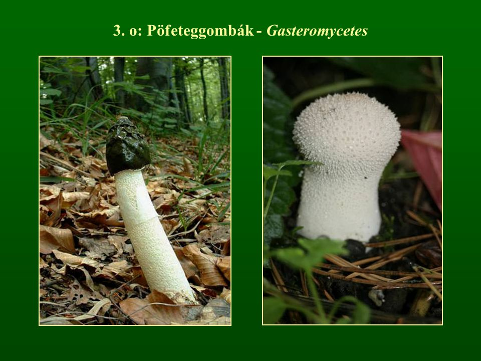 3. o: Pöfeteggombák - Gasteromycetes